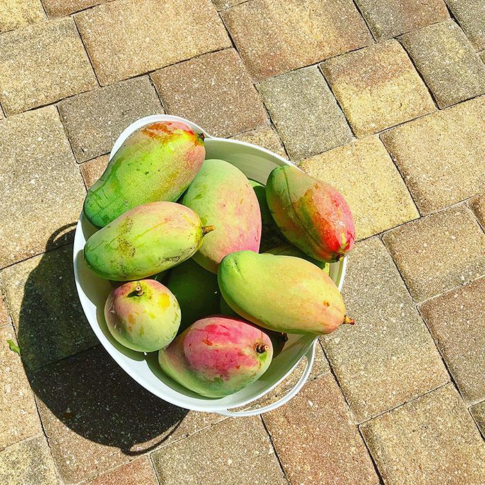 fresh mangoes in a bowl