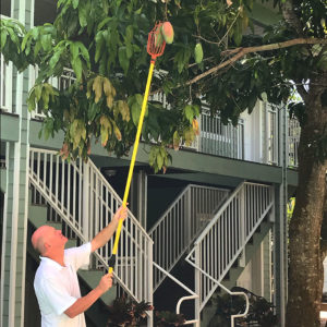 Karl Brenner picking off a mango from a mango tree